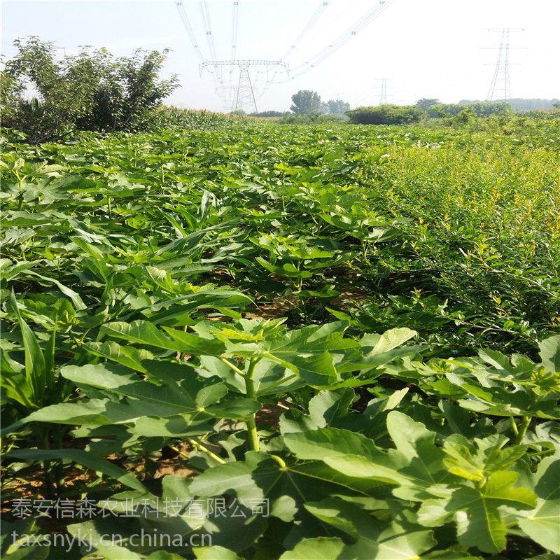 信森农业科技布兰瑞克无花果苗规格 当年结果无花果苗批发 质优价廉