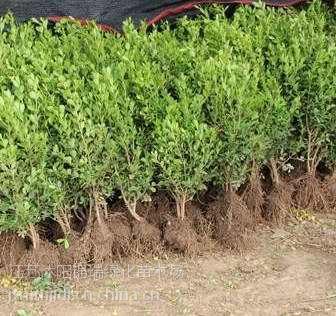 瓜子黄杨基地 出售瓜子黄杨苗床苗 瓜子黄杨分栽苗
