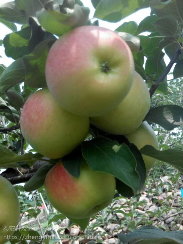 山东省苹果树苗多少钱
