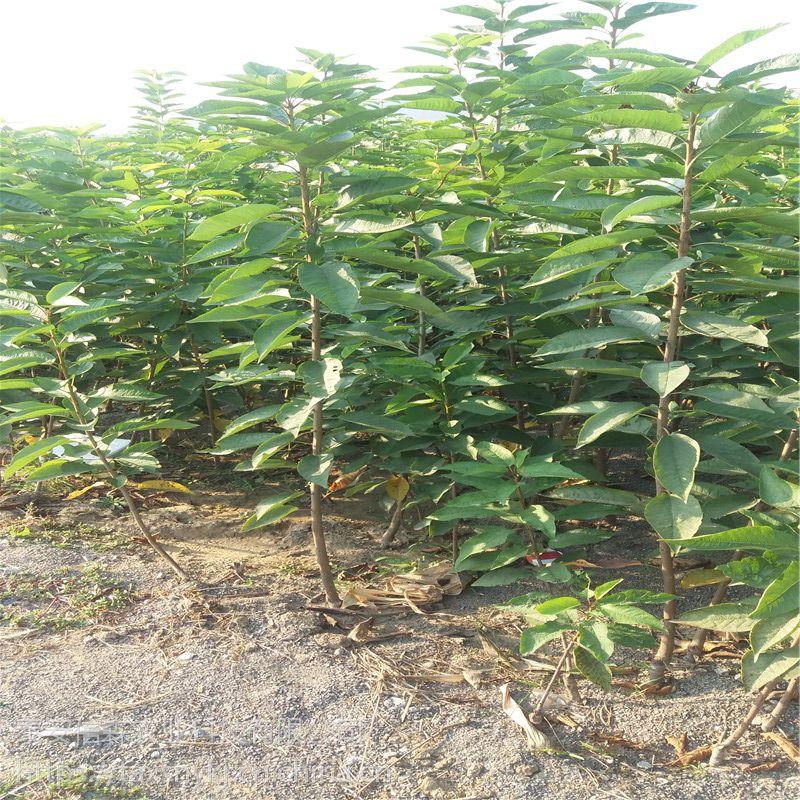 信森农业科技嫁接樱桃苗品种 新品种福晨早熟樱桃苗价格 质优价廉
