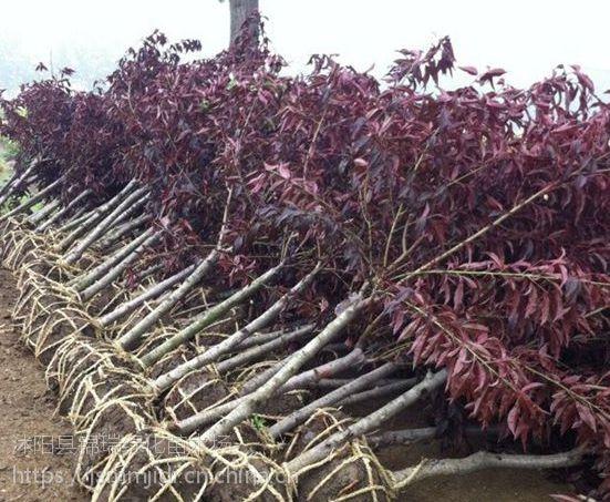 江苏碧桃基地 出售7公分8公分红叶碧桃(有嫁接苗和实生苗)