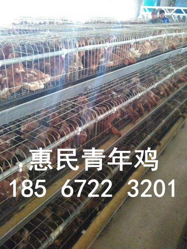 淮南60天海兰褐青年鸡养殖
