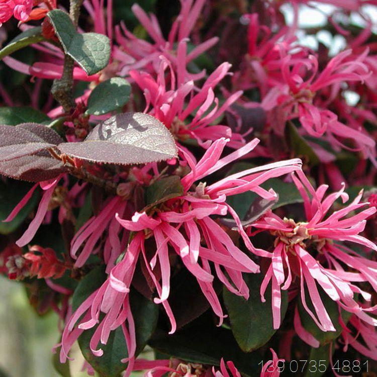 红桎木 红花继木 红檵木 园林绿化色块小苗批发价格