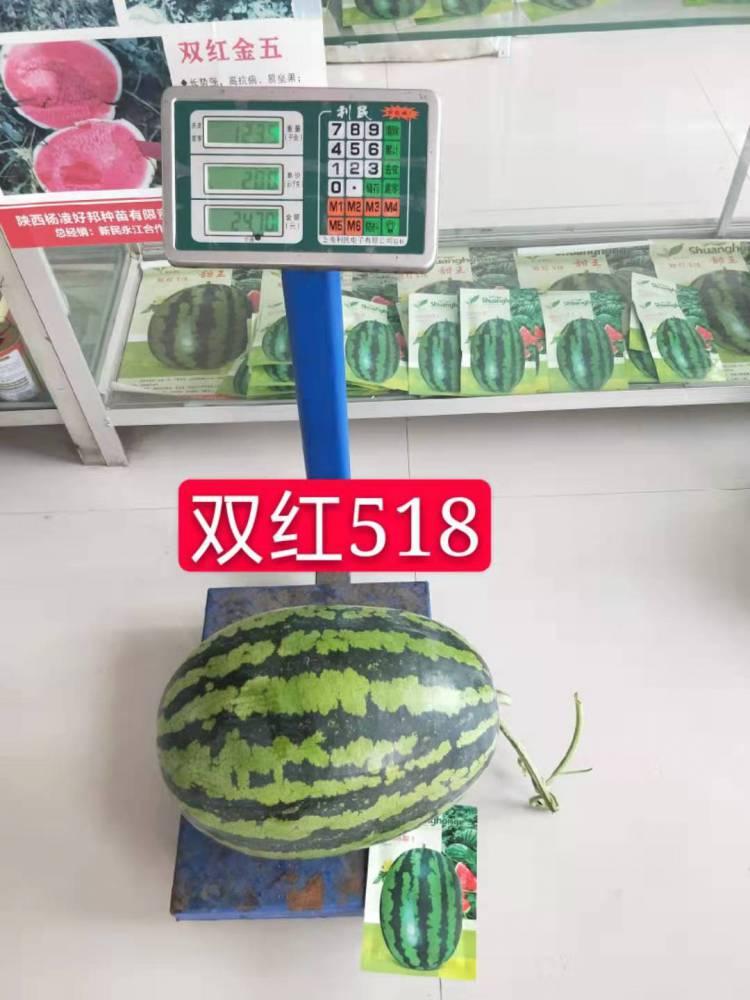 精品甜王品种双红518甜王西瓜种子表现超强