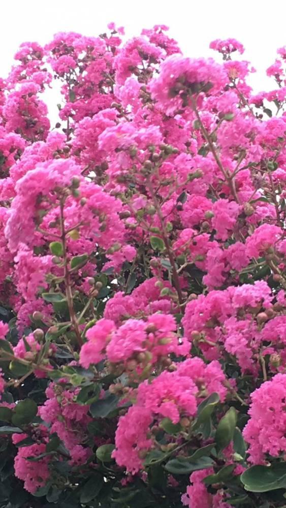 紫薇树开花了,美得让人心醉