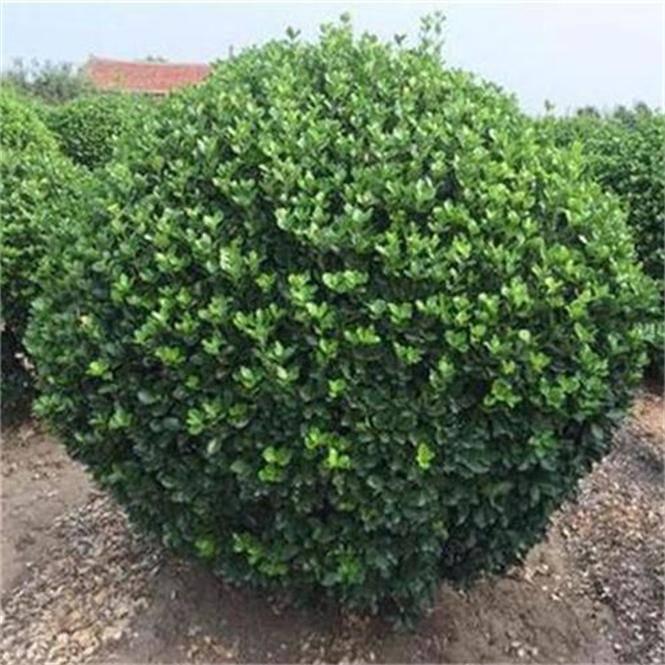 大叶黄杨球产地、热销1米2米3米冠幅精品大叶黄杨球