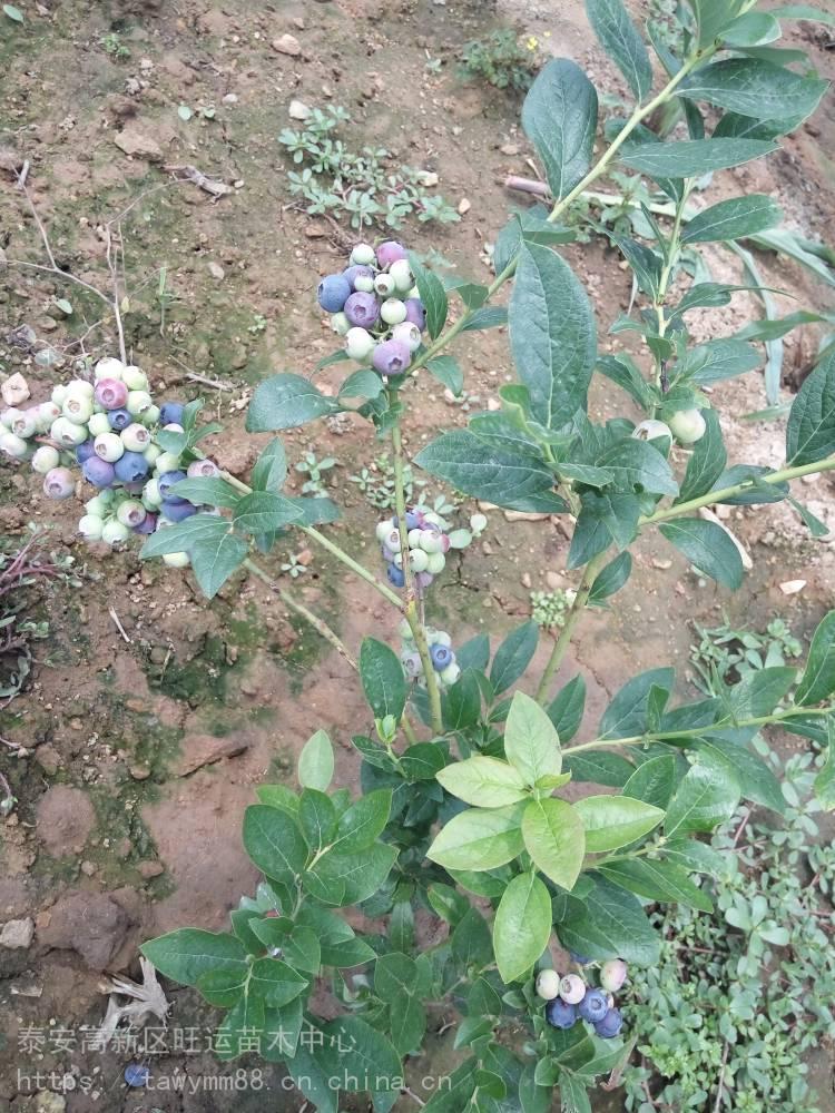 矮丛蓝莓苗果树新品种盆栽蓝莓苗