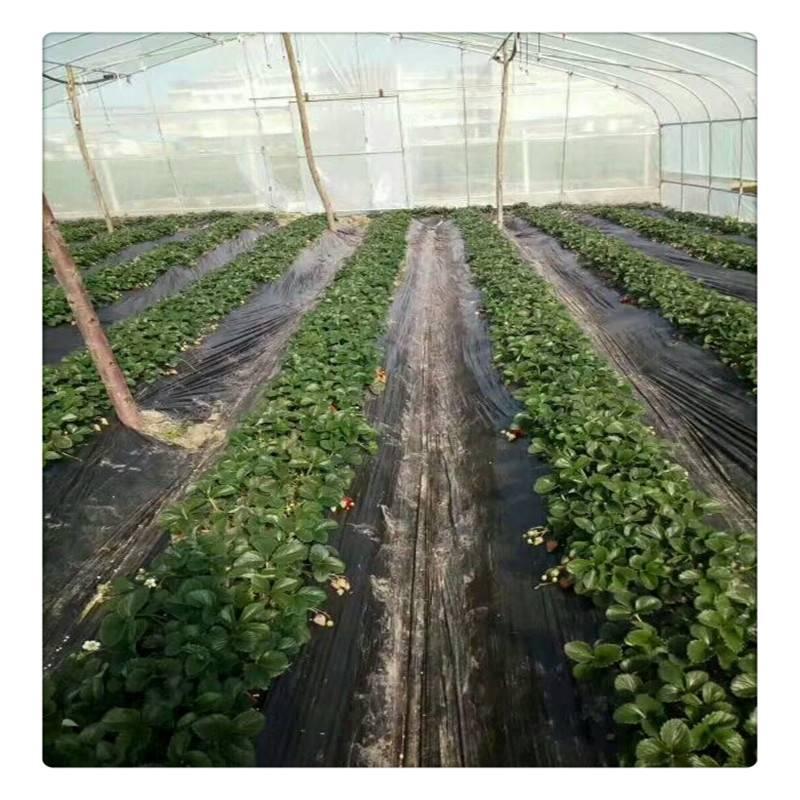 销售桃熏草莓苗 桃熏草莓苗 产地直销 白色草莓苗