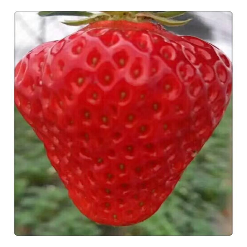 国内批发达赛草莓苗 甜查理草莓苗 一年生 京藏香草莓苗