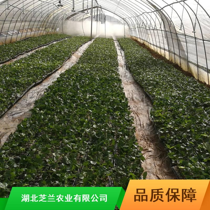 20公分豆腐柴广东豆腐柴批量供应食用豆腐柴哪里有卖