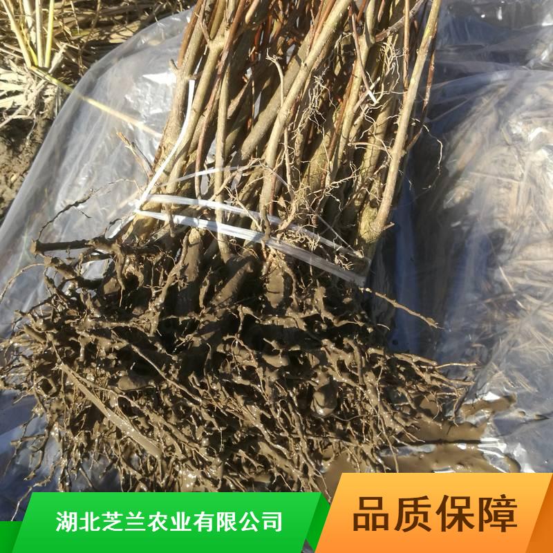 20-30公分豆腐柴苗粉多少钱一斤观音臭黄荆批发价格江苏臭黄