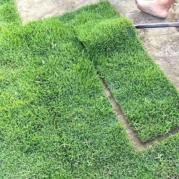 马尼拉草皮草卷 固土护坡绿化工程种植的草坪草种 价格优惠