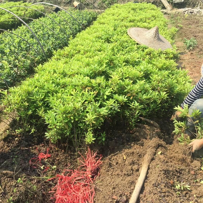 杜鹃 湖北鄂州城市绿地绿化用的树木批发价格 哪家好