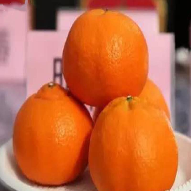 明日見柑橘苗基地 明日見果子價格圖片