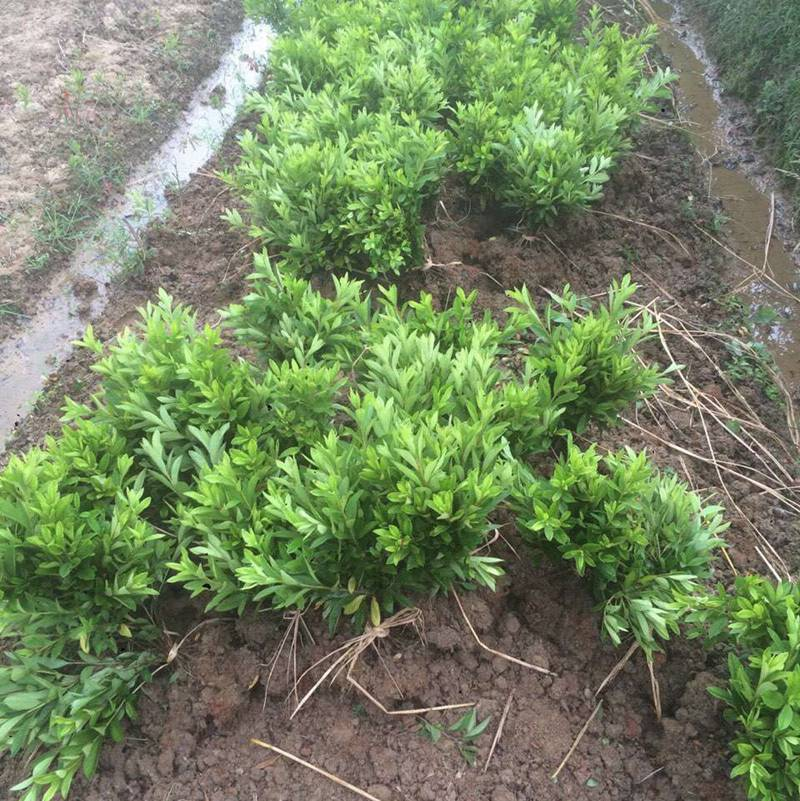 杜鹃 广东江门楼盘小区绿化用的苗木品种批发价格 采购价格