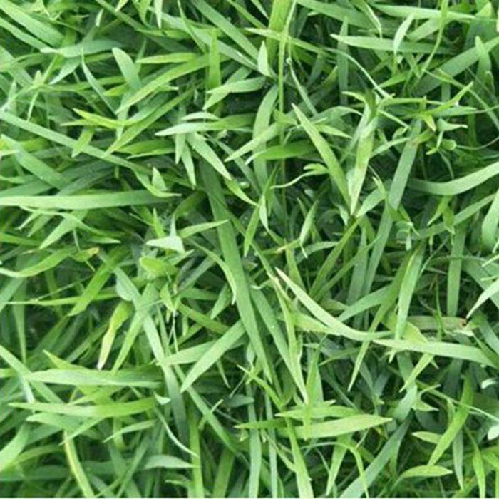 批发  马尼拉草皮 耐旱耐热生长快的天然草坪草种 价格优惠