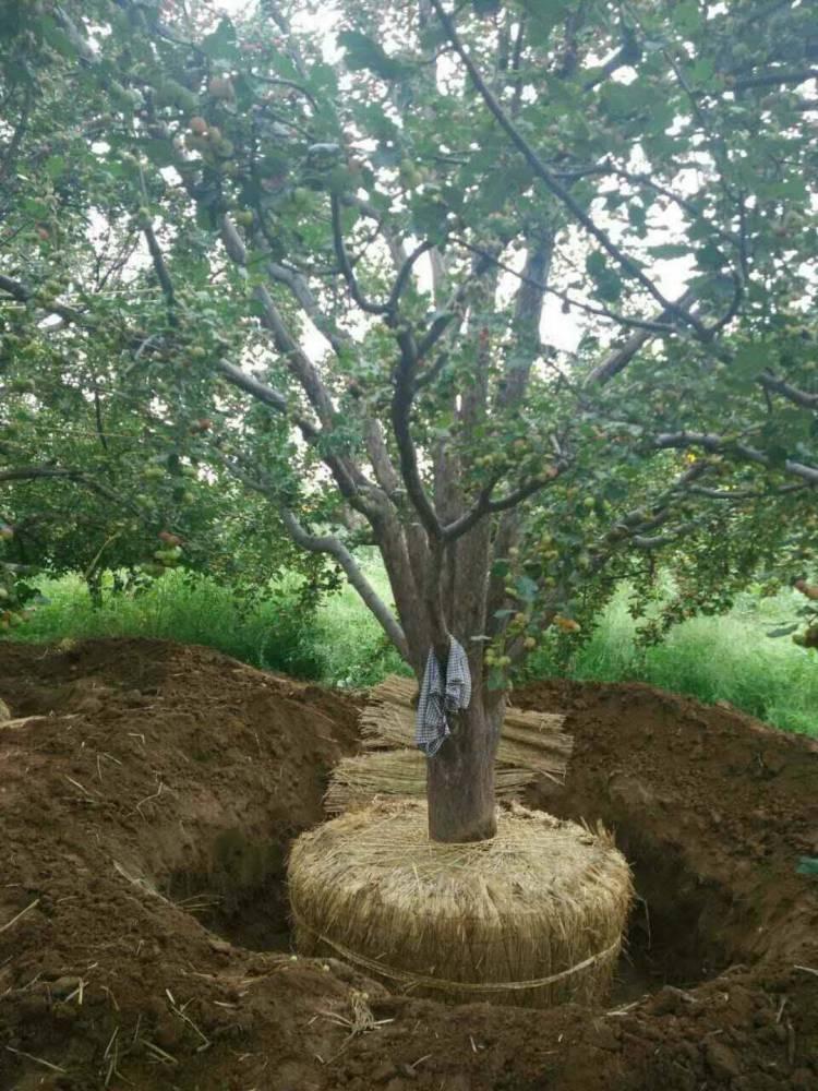 八棱海棠树4-6公分全国供货