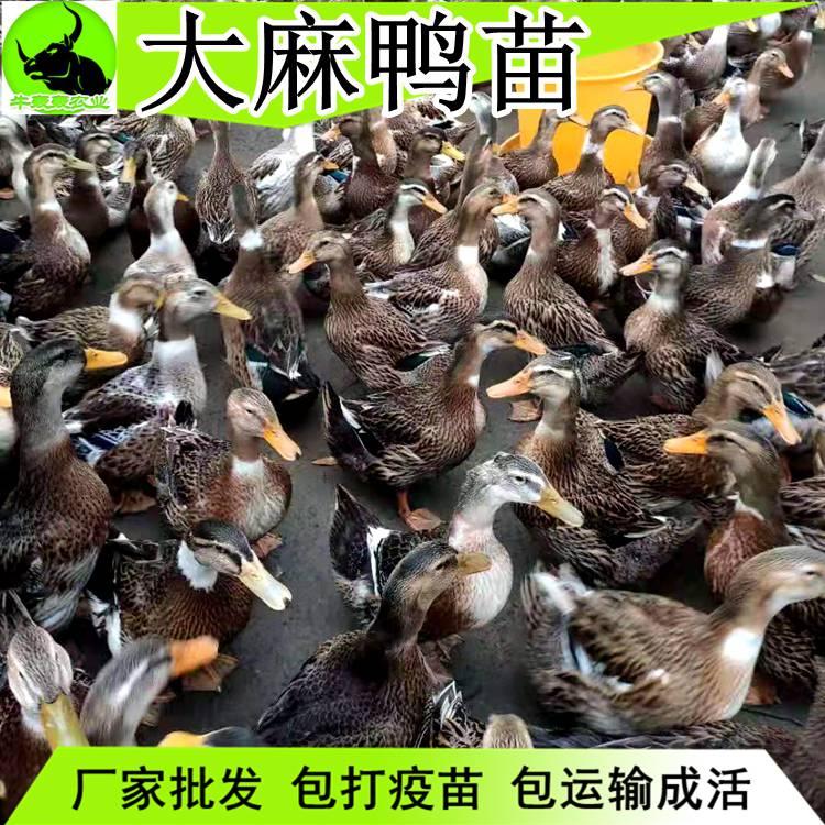 2020年今日鸭苗价格-麻鸭苗批发孵化场每天更新报价包邮