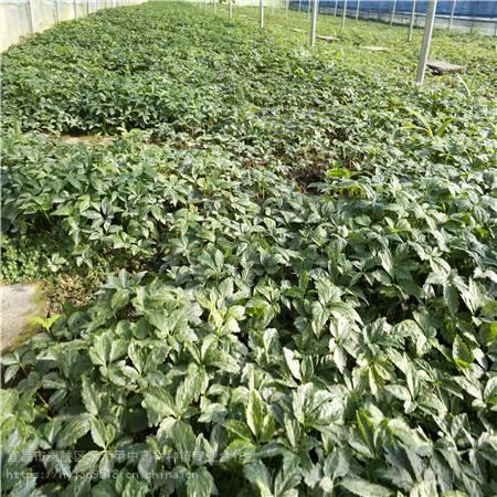 福建福州 竹节参经济效益 野三七如何种植