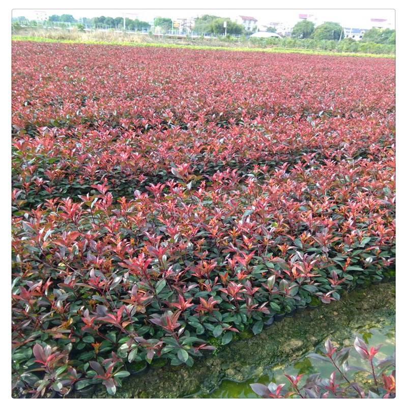 润景红叶石楠小毛球 50公分红叶石楠小苗 80公分红叶石楠球