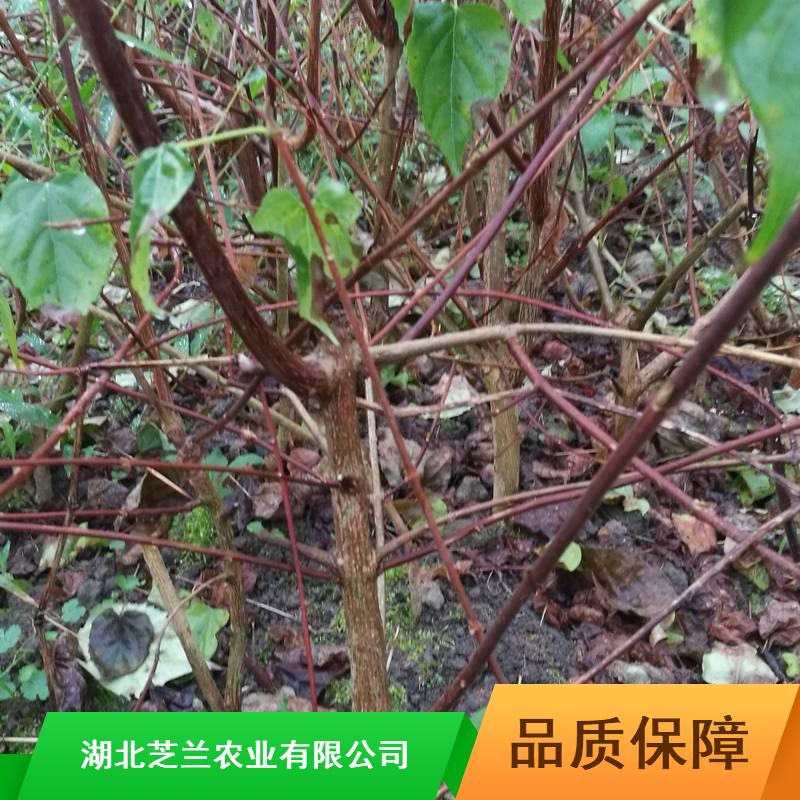 福建斑鸠树产地批发20公分豆腐柴树苗神仙豆腐柴树苗