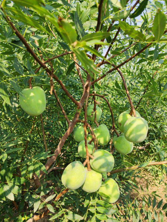 文冠果今年結果產量的文冠果苗價格,當年結果文冠果樹苗