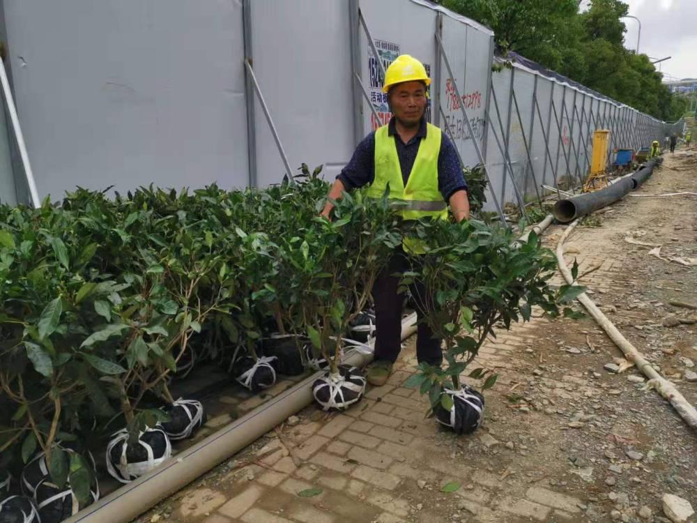 四川6080厘米高大茶树苗,四川绿化工程茶树苗价格