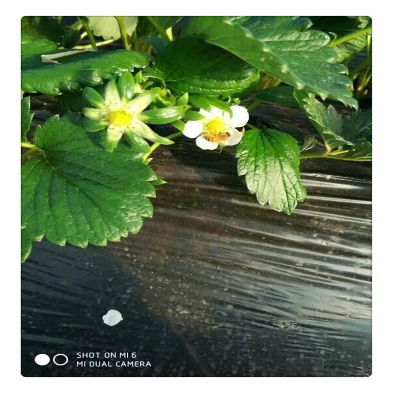 销售雪妹草莓苗 京藏香草莓苗 多少钱 法兰地草莓苗