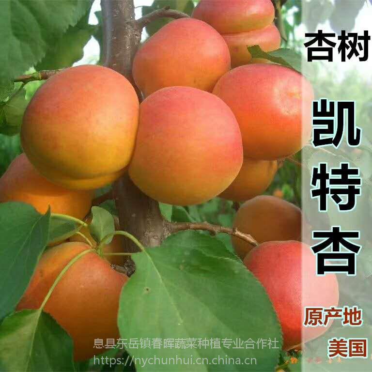 果树苗 杏树苗 凯特杏 两年苗 嫁接苗 南北均可种植 当年结果水果树苗 春晖牌