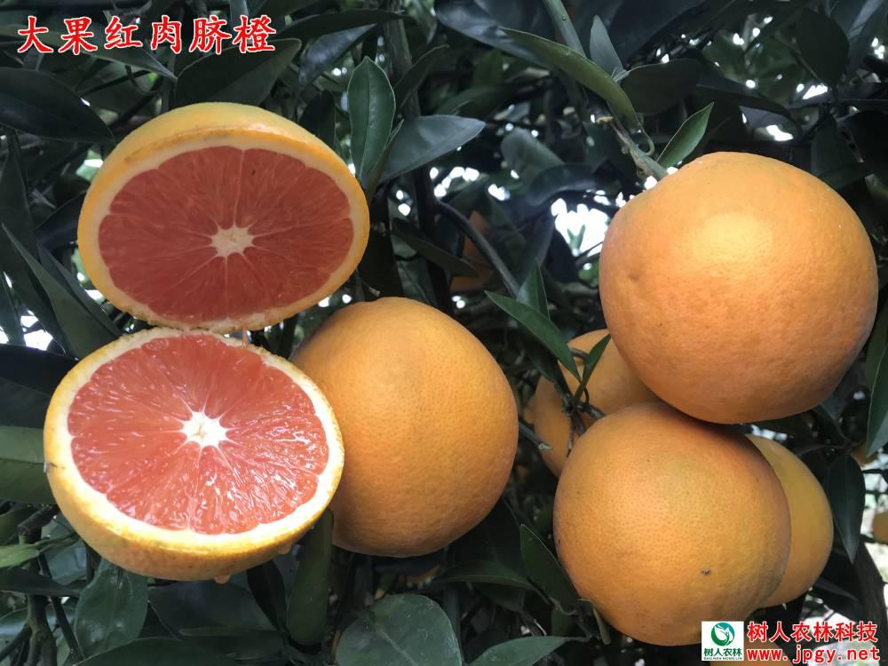 樹人公司選育大果紅肉臍橙的表現