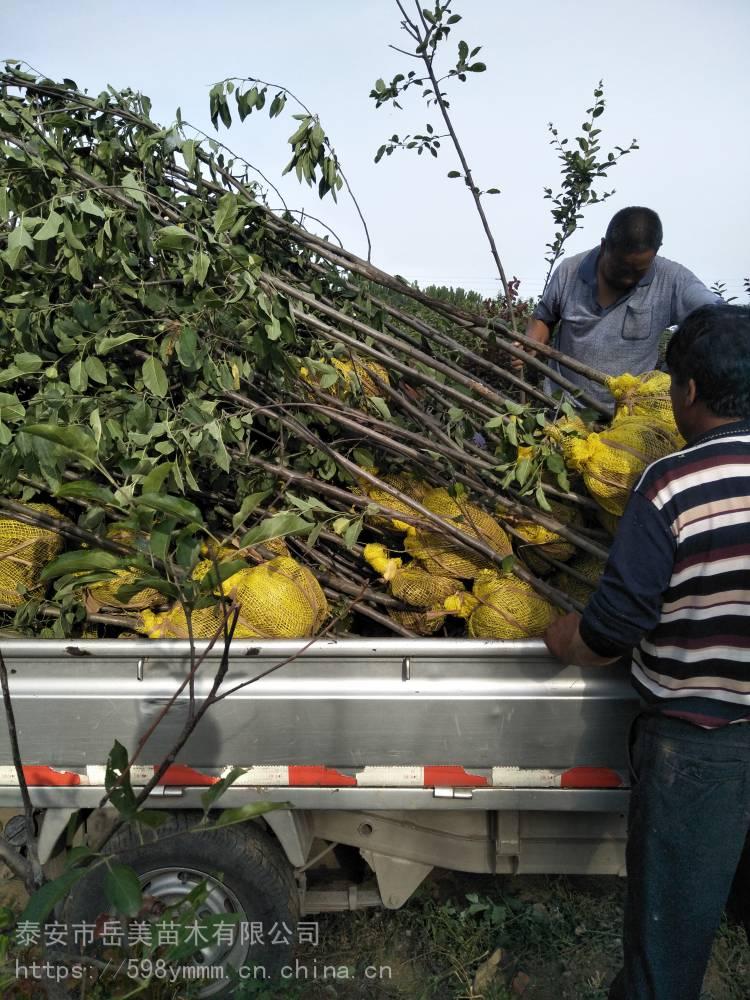 2公分苹果苗 密植苹果苗 柱状苹果树优良特性