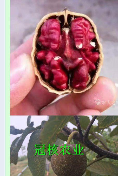 美国红仁核桃树苗,美国红核桃苗