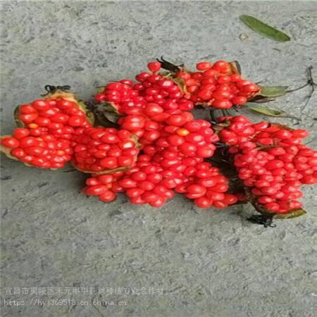 广西来宾竹节参种植基地批发种苗 野三七的功效和作用