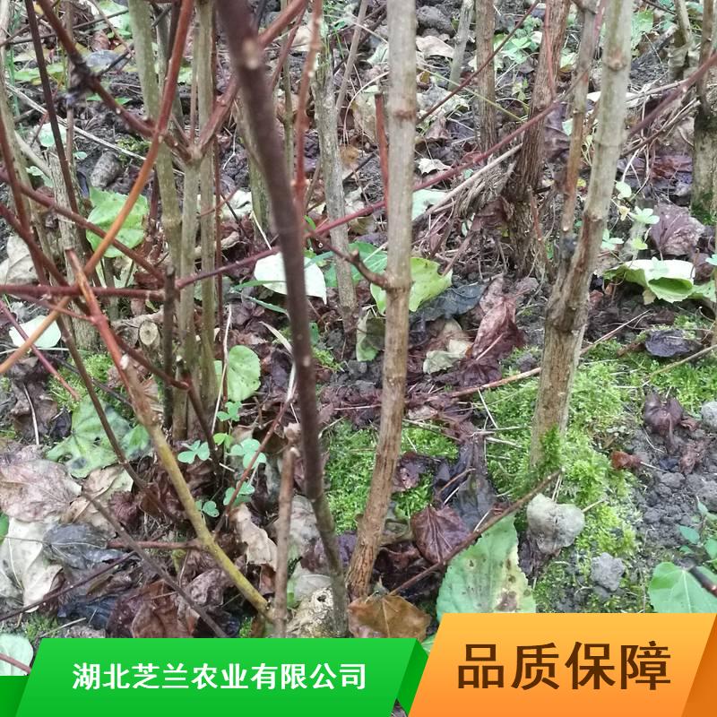 30公分豆腐柴江苏豆腐柴供应食用豆腐柴哪里有卖