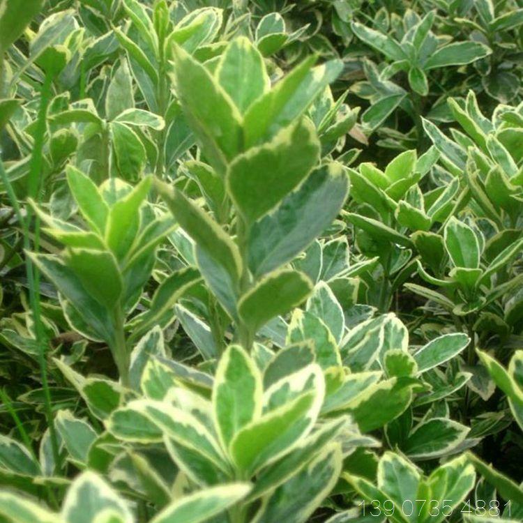 金边黄杨 园林绿化色块工程苗木