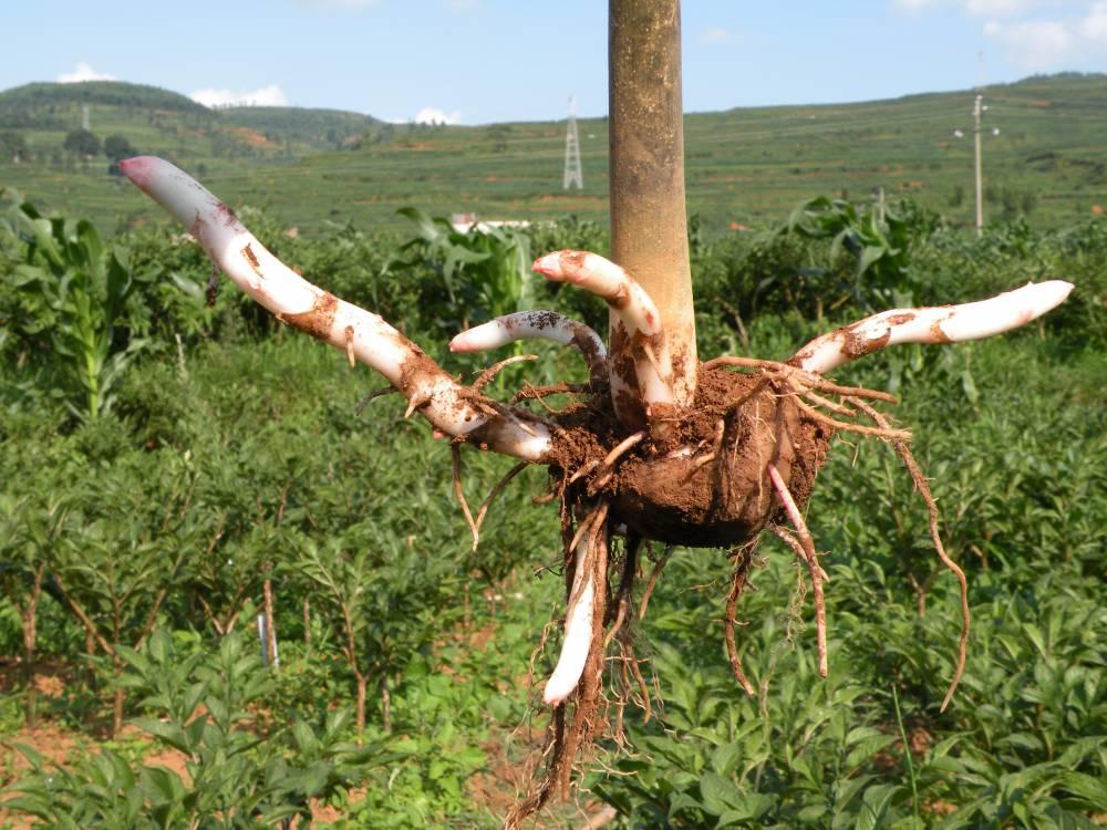 富滇魔芋公司200亩魔芋种植基地欢迎实地考察