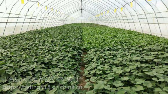 河南周口红薯苗地瓜苗 商薯19高产红薯苗