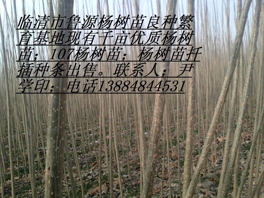 500萬精品楊樹苗;107楊樹苗供應