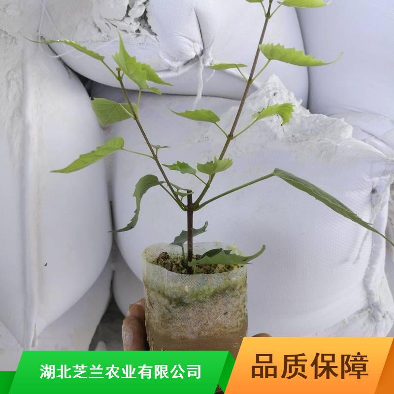 30公分豆腐柴苗浙江豆腐柴苗厂家供应药用豆腐柴苗粉多少钱一斤