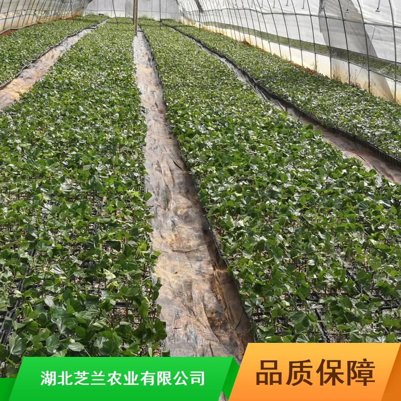 20-30公分豆腐柴浙江豆腐柴供应药用豆腐柴扦插方法