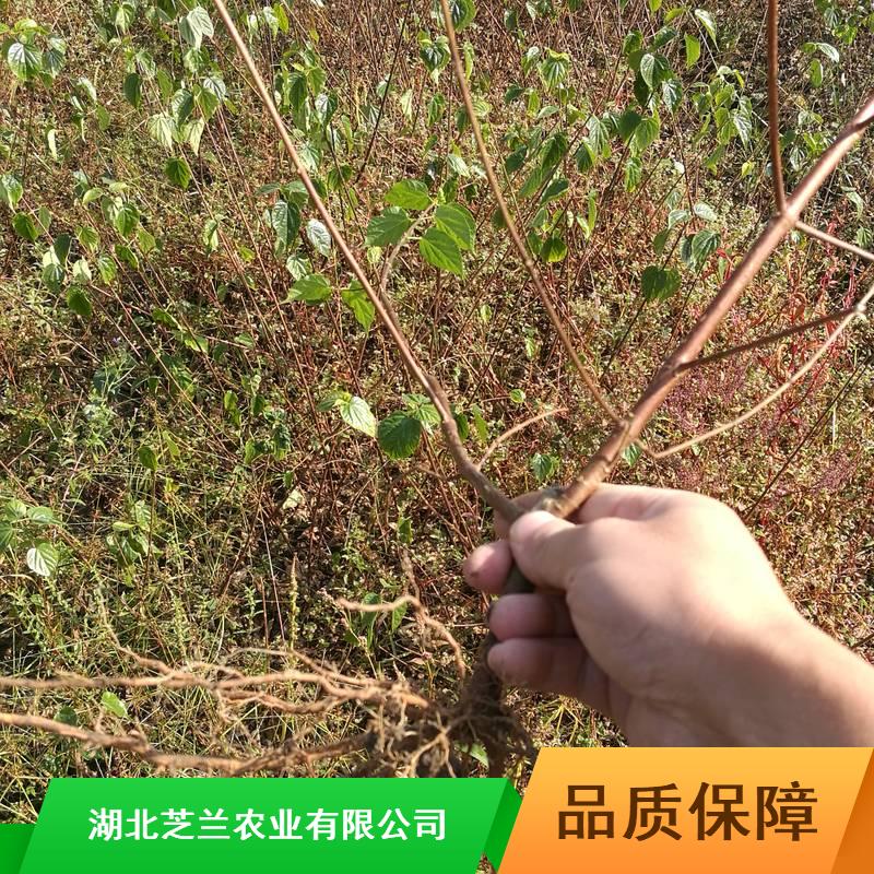 广西斑鸠占产地批发20公分豆腐柴树苗食用豆腐柴树苗