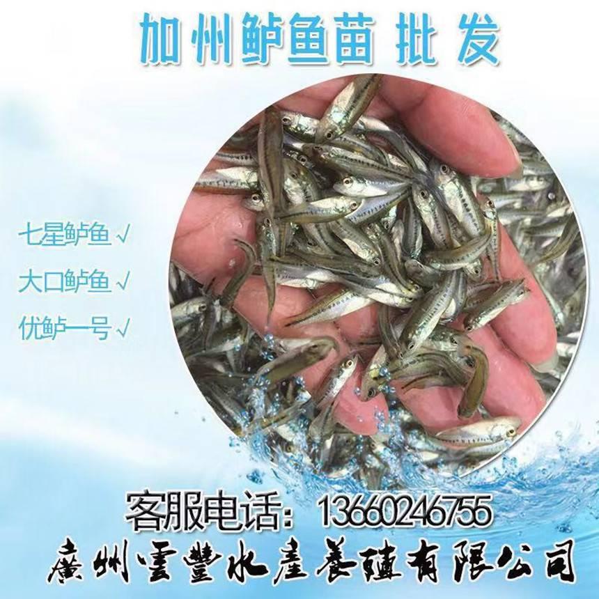 加洲鲈水花批发 加洲鲈鱼苗全国直供 -云丰水产