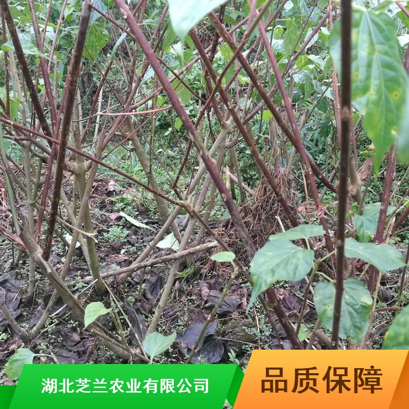 湖南斑鸠树产地批发20公分豆腐柴观音豆腐柴