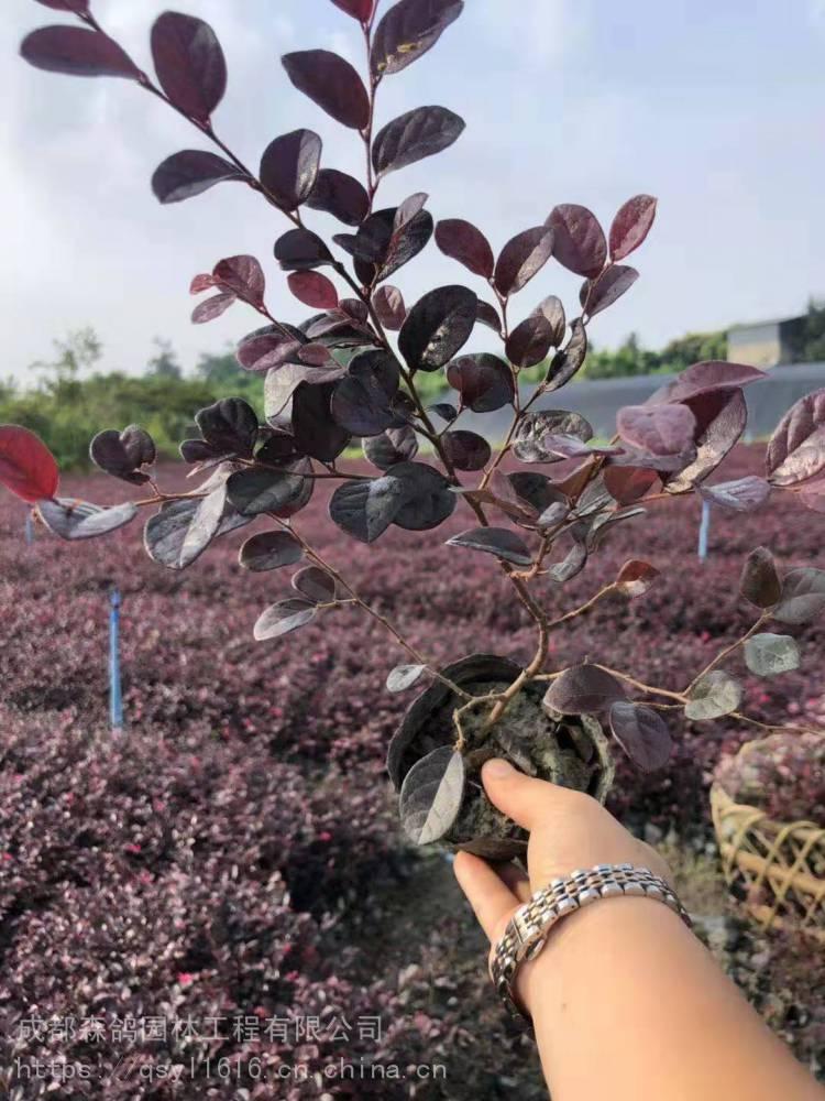 杯苗紅花繼木價格,成都彩葉植物基地,30公分紅檵木工程苗