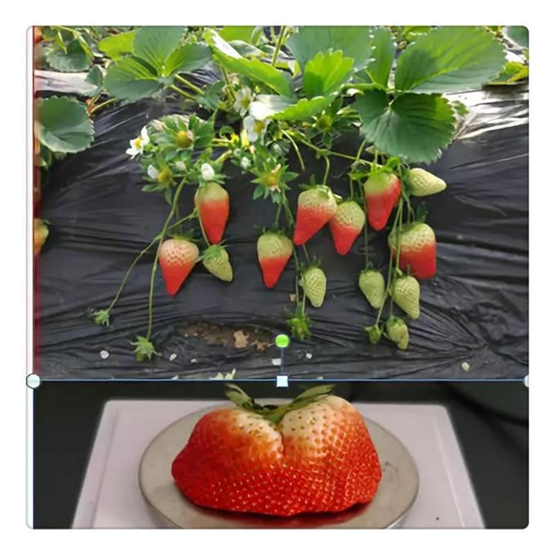 优质红颜草莓苗 咖啡草莓苗 原生苗 红石美草莓苗
