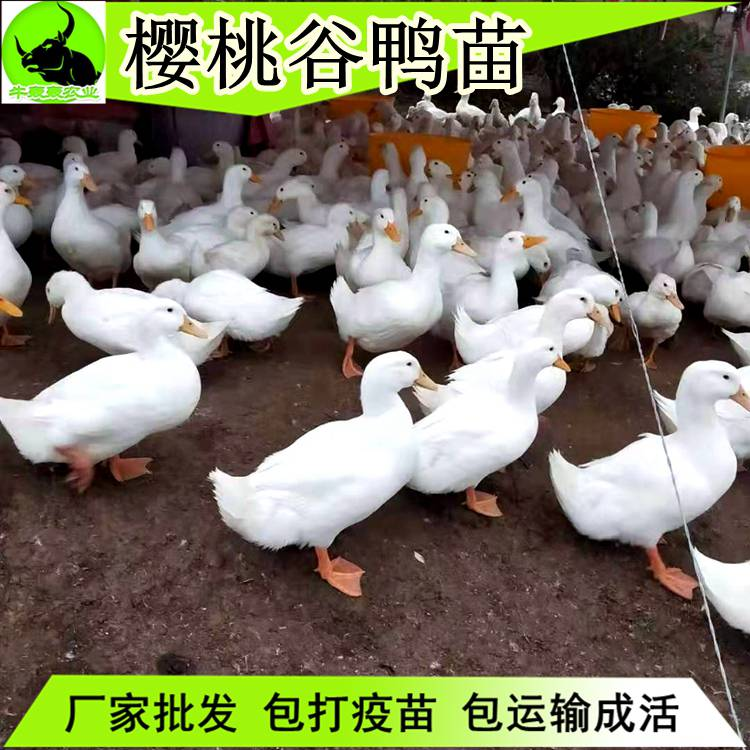 2020年今日鸭苗价格-桂柳樱桃谷鸭苗批发孵化场供应