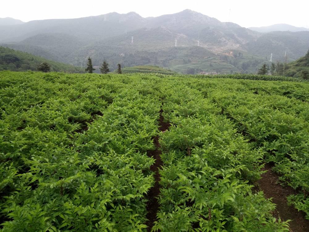 富滇魔芋公司300亩一代魔芋种植基地欢迎实地考察
