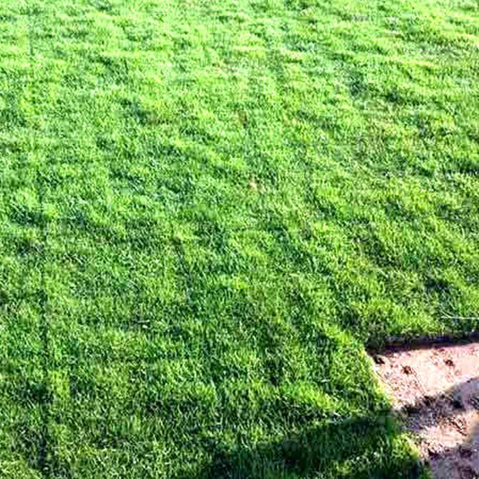 马尼拉草皮 草坪价格 草皮多少钱一平方 绿化草种