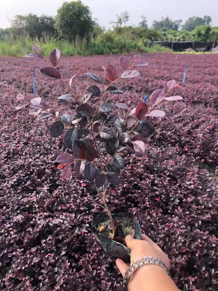 當季紅花繼木杯苗價格,紅檵木起苗發往長沙,紅繼木批發價格