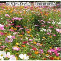 供应盆栽/院子/阳台花卉种子 美丽花草 耐旱喜阳野花组合种子美化环境